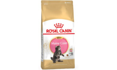 Royal C c. Maine Coon Kitten 2 kg